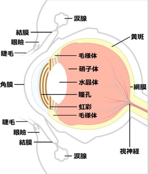 目の構造と紫外線